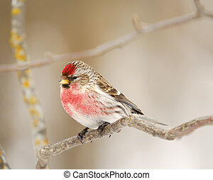 Male Common Redpoll - A Common Redpoll, as small passerine...