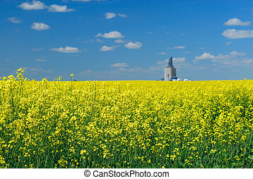 Canola Field and Elevator - An elevator in the distance of a...