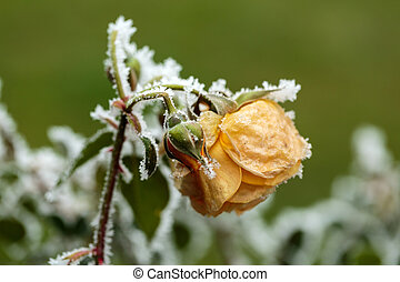 the winter impression - the hoary yellow rose in the garden