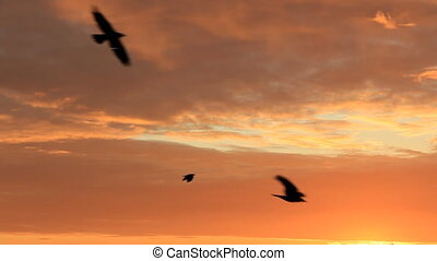 Black crows flight at orange cloudy sky close view