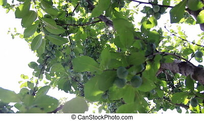 Sunbeams through plum-tree branches with many fruits
