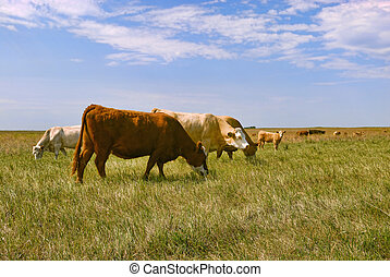 Cattle in Field - A herd of cattle grazing on Saskatchewan...