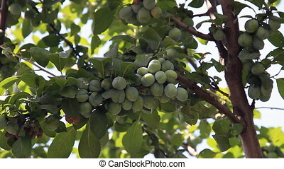 Many immature plums on tree branch in agricultural industry...