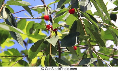 Red cherry fruits in tree green leaves on blue sky...