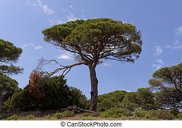 Umbrella pine, Parasol pine, France - Umbrella pine Parasol...