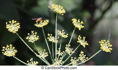 Small fly pollinate flower dill in sunlit