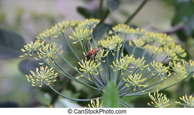 Honey bee on dill small flowers - Honey bee on dill small...