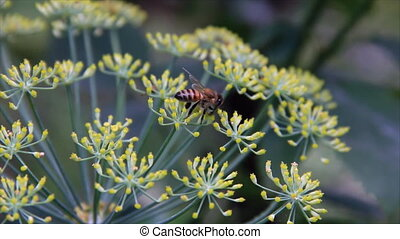 Honey bee on dill flowers closeup view