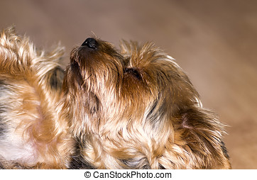 Yorkie lying on his back