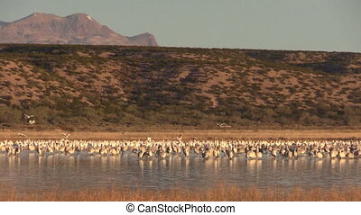 Sandhill Cranes - a small flock of sandhjill cranes at...