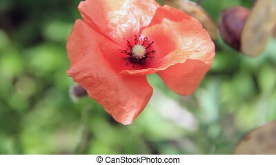 Red poppy flower on wind