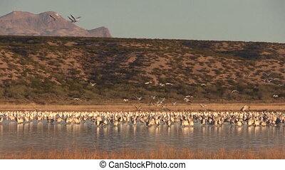 Sandhill Cranes - a small flock of sandhjill cranes at...