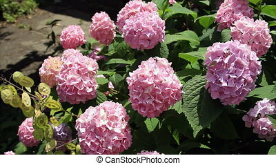 Inflorescence viburnum flowers - Decorative viburnum flowers...
