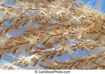 Fluff of the old dried reed is glittering in the sun