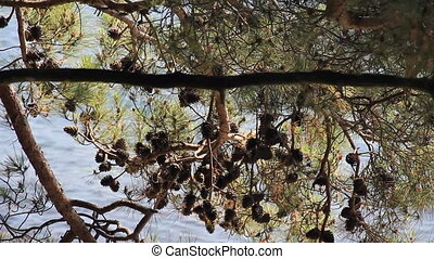 Pine cones on the branch - Pine cones in the branch at wave...