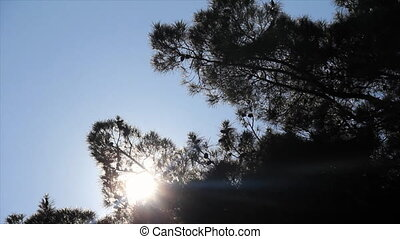 Sunbeams through pine needles on blue sky
