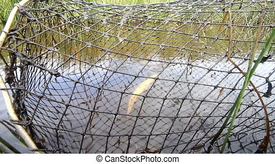 fishing net trap with forgotten dead perch fish - fishermen...