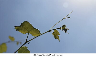 Green vine sprig with young leaves and grape mustache