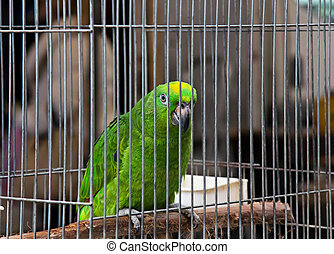 Cielna, zielony, papuga, (Amazona), Na, pieszczoch, targ,