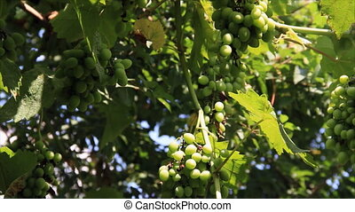 Green growing vine grapes on sunny