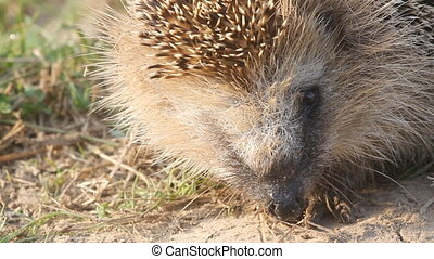 hedgehog a wild animal close up goes leaves - insectivorous...