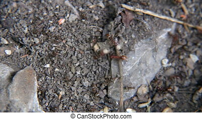 Ants disturbed aggressive running on the gray ground