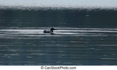 Loon rearing up. - Loon rearing up and flapping its wings on...