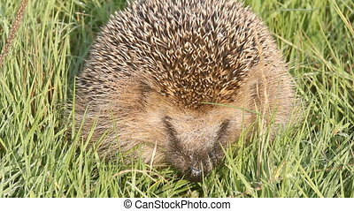 wild animal hedgehog on grass close up - hedgehog in the...