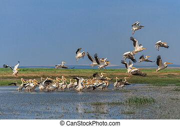 white pelicans (pelecanus onocrotalus) in flight in Danube...