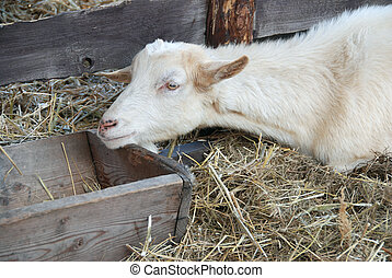 Goat in the barn - Goat is having a rest in the barn on the...