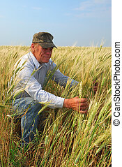 Farmer inspecting Durum Wheat - A farmer inspects a durum...