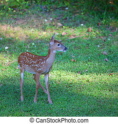 Curious fawn - Whitetail deer fawn in spots looking at...