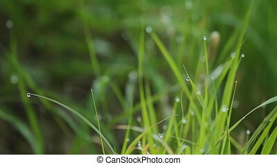 Morning dewdrops on long grass.