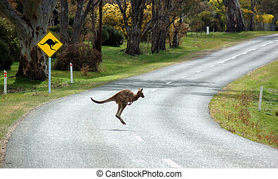 Kangaroo Crossing - A kangaroo crossing in front of a...