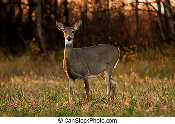 White Tail Deer Autumn - Alert White Tail Deer, side...