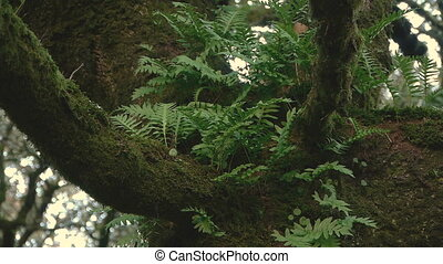 ferns in the trunk of the old oak