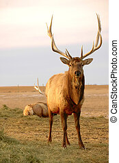 Bull Elk  - A bull elk with straw dangling from mouth