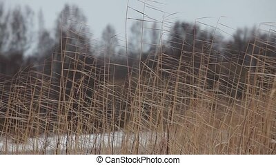 reeds sea shore cold north wind - Sedge cold north wind Loop...