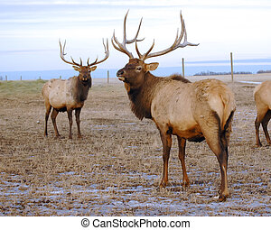 Bull Elk Looking - Bull elk (wapiti) with magnificent...