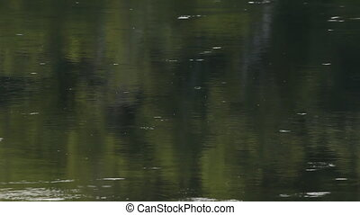 Insects on the surface of a lake - Insects skimming on the...