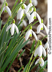 Snowdrop Flowers - Fresh snowdrop flowers having just grown...