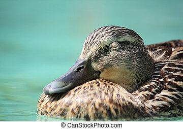 Sleepy Duck - Portrait of Sleepy Duck driftng on Pool with...