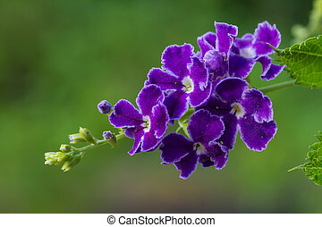 Purple blue duranta flower - Purple blue duranta or Golden...