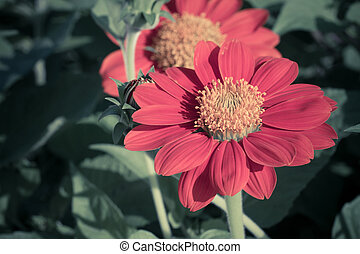 Mexican sunflower on tree in vintage style