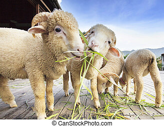 merino sheep eating ruzi grass leaves on wood ground of...