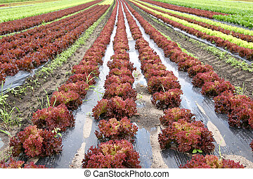 Agriculture live - lettuce in the fields
