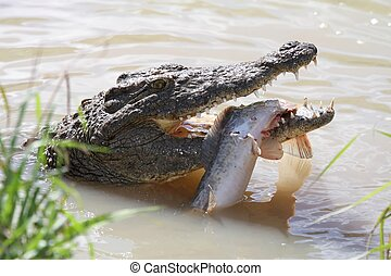 Crocodile and Fish - Crocodile with green eyes and freshly...