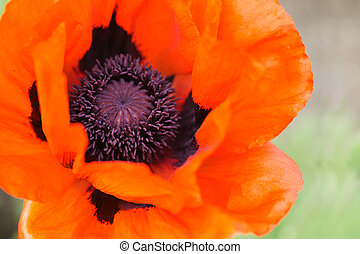 Papaver orientale - Extreme close-up of very large red...