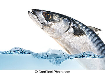 Fresh mackerel fish - Fresh Mackerel fish jumping out of the...
