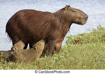 Capibara (Carpincho) Feeding her Young - A mother capibara,...